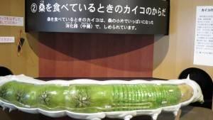日本最大蠶模型